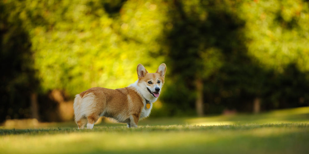 Pembroke Welsh Corgi dog outdoor portrait Horizontal Pembroke Standing Welsh Welsh Pembroke Corgi Animal Themes Corgi Day Dog Domestic Animals Grass Looking At Camera Mammal Nature No People One Animal Outdoors Park Pembroke Welsh Corgi Pets Photography Portrait Welsh Corgi