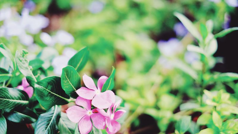 Flower Growth Nature Petal Plant Beauty In Nature Fragility Periwinkle No People Day Outdoors Close-up Flower Head Focus On Foreground Pink Color Green Color Freshness Blooming Leaf