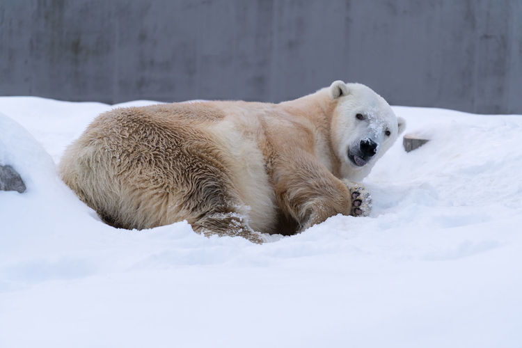 Mammal One Animal Animal Themes Animal Snow Cold Temperature Winter Dog Pets Domestic Animals Canine Domestic Vertebrate Relaxation No People White Color Day Nature Polar Bear Outdoors Animal Head