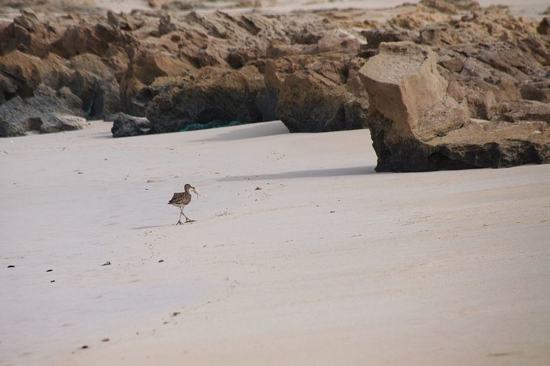 Curlew wild marine bird with Atlantic ghost crab Predator Hunter Cape Verde Boa Vista, Cabo Verde Boa Vista Curlew Atlantic Ghost Crab One Animal Animals In The Wild Animal Themes Animal Wildlife Bird Day Sand Nature Mammal Beauty In Nature Water Beach No People Outdoors