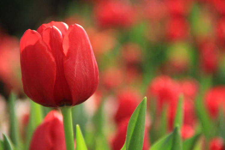 Love Flower Tulip Plant Beautiful EyeEmNewHere Blossom In Bloom Sepal Attractive Flowering Plant Relaxed Moments Plant Life A New Beginning A New Perspective On Life Holiday Moments