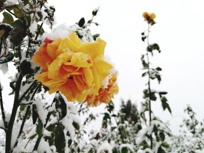 Rose - Flower Yellow Rose Winter Snow Frozen Nature Frozen Frozen Flowers Garden Photography Flower Yellow Snow Winter Nature Cold Temperature Fragility