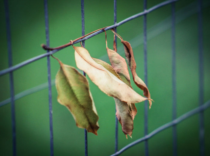 Close-up of green leaves on metal fence