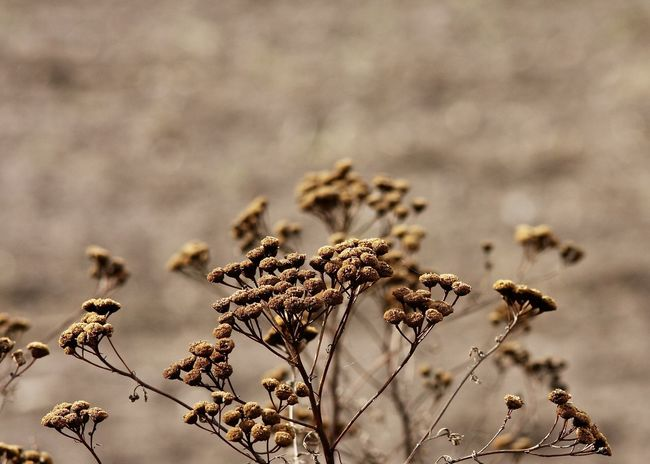 dried tansy wildflowers in autumn Autumn Farm Field Green The Week On EyeEm Wildflower Backgrounds Beauty In Nature Brown Close-up Day Dried Plant Dry Flower Flower Head Fragility Freshness Growth Leaf Nature No People Outdoors Plant Tansy Wild