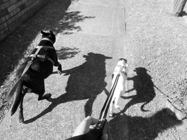 Dog Walk Dog Walking Dogs Friends Hot Hot Day Bright Sun Day Dog Dog Walker Dogslife Friendship Human Hand On A Leash Outdoors Shadow Shadows Sunlight