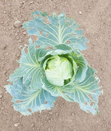 Europe Leaf Cabbage Leaf Cabbage Leafs Healthy Healthy Eating Healthy Lifestyle Eco-friendly Green Cabbage Rabbit Food Salad Garden Daylife Ground Villige Villige Life Lithuania Garden Food Food Flower Head Flower High Angle View Close-up Green Color Plant Life Botany Growing Young Plant Petal