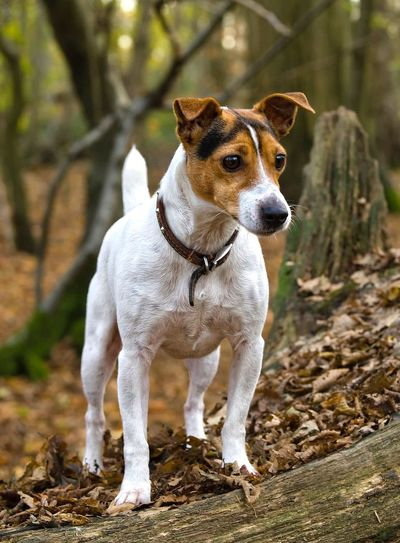 Pip - Pet Photography  Dog Portrait Pets Taking Pictures Country Life Terrier Jack Russell