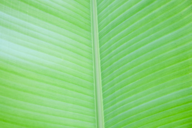 Abstract Backgrounds Backgrounds Banana Leaf Beauty In Nature Brightly Lit Close-up Fragility Full Frame Green Color Leaf Leaf Vein Leaves Natural Pattern Nature No People Outdoors Palm Leaf Pattern Plant Plant Part Striped Textured  Textured Effect Vulnerability