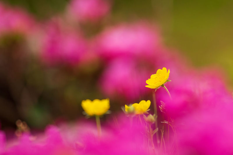 Beautiful landscape in the mountains, Rodnei Mountains Romania, with yellow and red flowers in foreground Flower Flowering Plant Freshness Vulnerability  Beauty In Nature Plant Fragility Close-up Growth Pink Color Selective Focus Yellow Inflorescence Petal Flower Head Nature No People Day Outdoors Purple Nature Backgrounds Nature_collection Nature Photography Yellow Flower Red Flower Bokeg Bokeh Photography Bokehlicious Bokeh Background Epic Tulip Colorful Colors