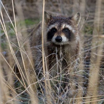 I saw this little fella at a waterfowl management area...it was quite a chilly morning and it had been scrounging around in the pond for food. It approached and stood behind the grass watching me for a bit before going back into the grass. Raccoon Utah Wildlife