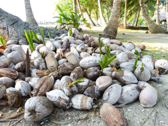 Beauty In Nature Close-up Coconuts Sprouting Focus On Foreground Growing Heap Large Group Of Objects Nature No People Outdoors Pile Of Coconuts Rural Scene Tranquility Nature's Diversities Belize  Travel Travel Photography Travel Destinations