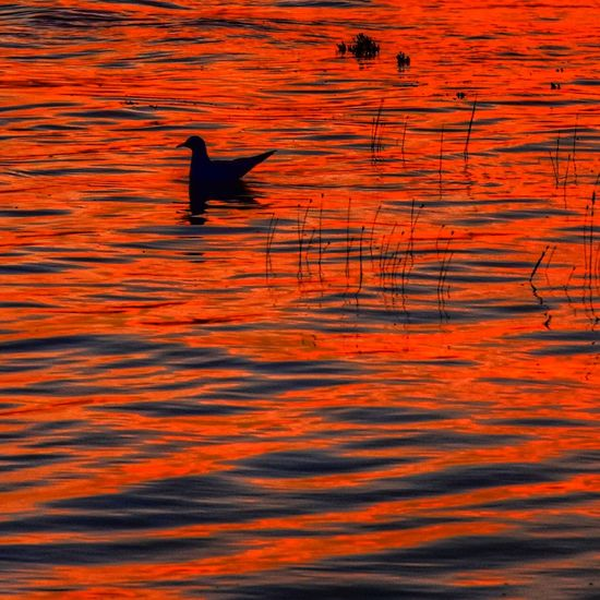 Red Bird Animal Themes Animals In The Wild Water No People Sunset One Animal Silhouette Nature Outdoors Backgrounds Animal Wildlife Day