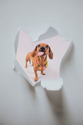 High angle portrait of dog standing against white background