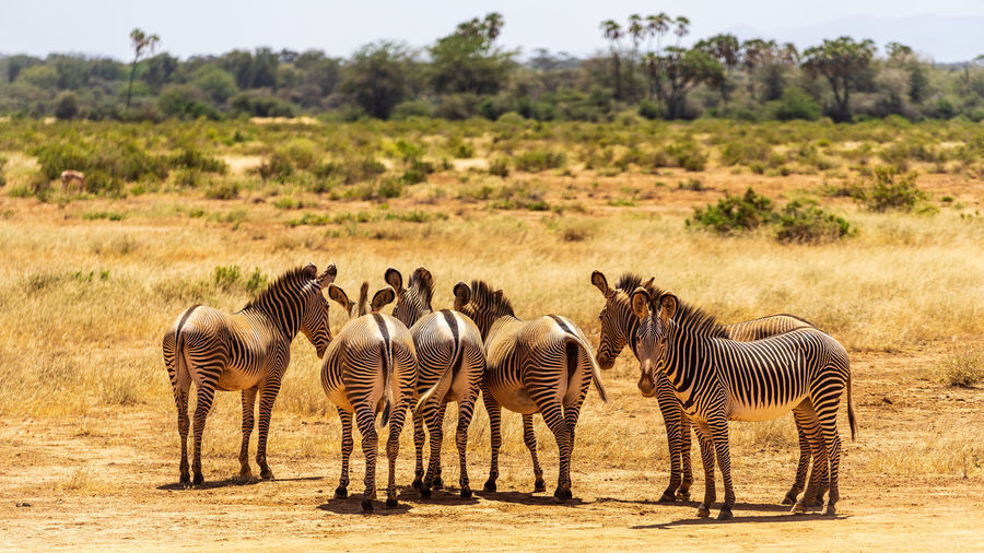 The Grevy's