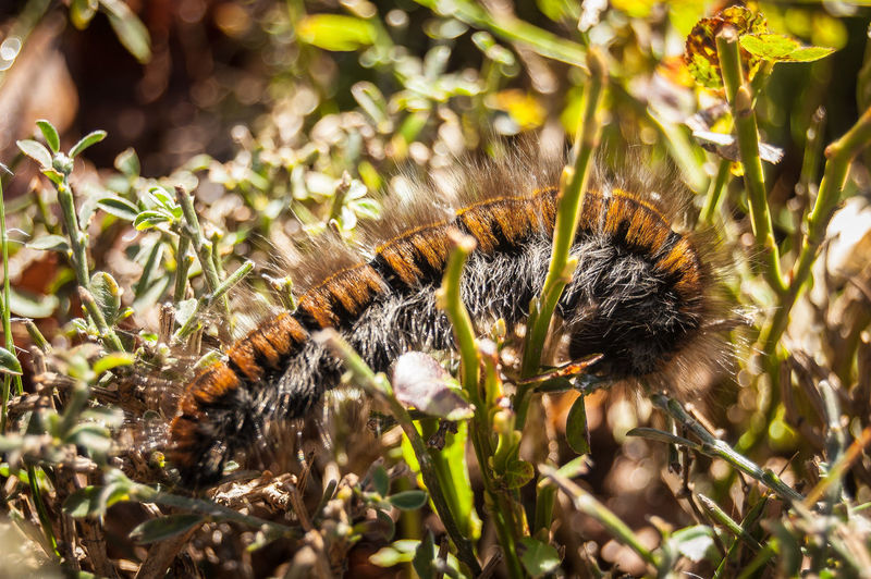 Hairy caterpillar (Lasiocampa quercus) Apuan Alps Apuane Mountains Animal Animal Themes Animal Wildlife Animals In The Wild Apuane Beauty In Nature Bee Butterfly - Insect Caterpillar Close-up Day Flower Focus On Foreground Growth Insect Invertebrate Nature No People One Animal Outdoors Plant Pollination Selective Focus