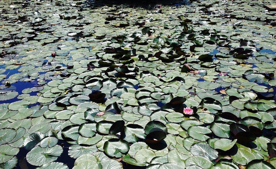 Search° Nature Water Leaf Floating On Water Beauty In Nature Outdoors Freshness Nature Lotoflower Day IPhone Taking Photos Italy Flower Green Color Fragility Lily Pad