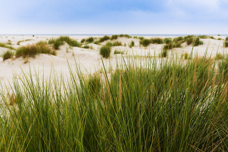 marram grass in front of sand dunes at the beach Beach Beauty In Nature Day Grass Green Color Landscape Marram Grass Nature No People Outdoors Sand Sand Dune Scenics Sky Summer Tranquil Scene Tranquility