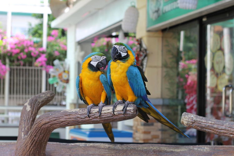 Close-Up Of Gold And Blue Macaws Perching On Wood