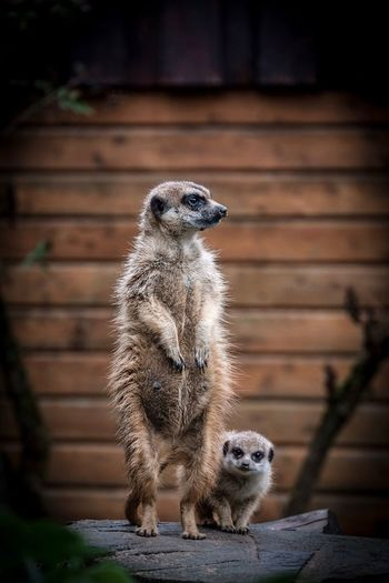Meerkats EyeEm Selects Animal Themes Animal Animal Wildlife Mammal Animals In The Wild Meerkat Animals In Captivity Close-up Nature Outdoors Portrait