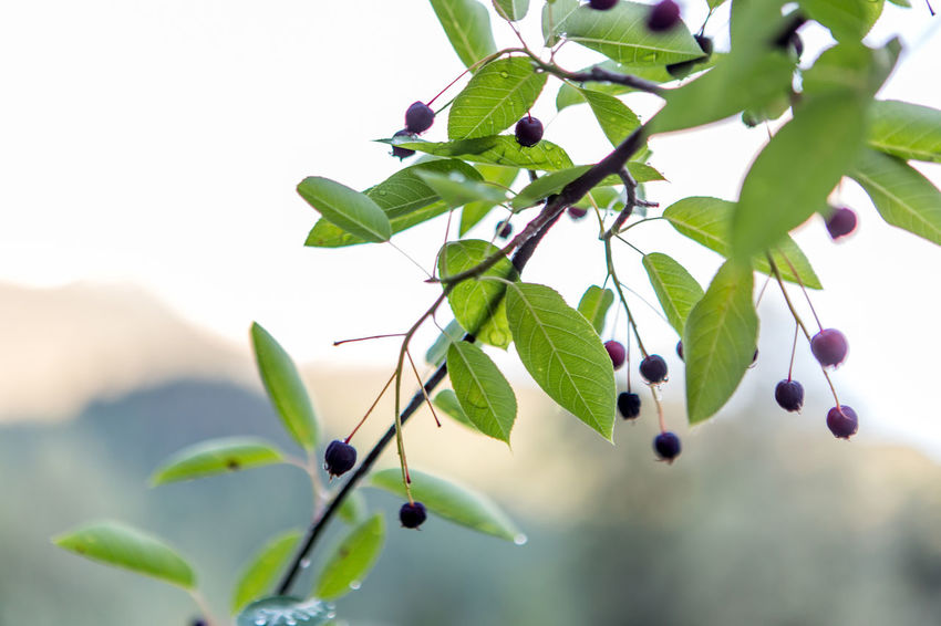 Wildberries on a branch Berries Branches Nature Beauty In Nature Bokeh Branch Close-up Day Focus On Foreground Food Food And Drink Freshness Fruit Green Color Growth Healthy Eating Leaf Nature No People Outdoors Plant Plant Part Tree Wildlife