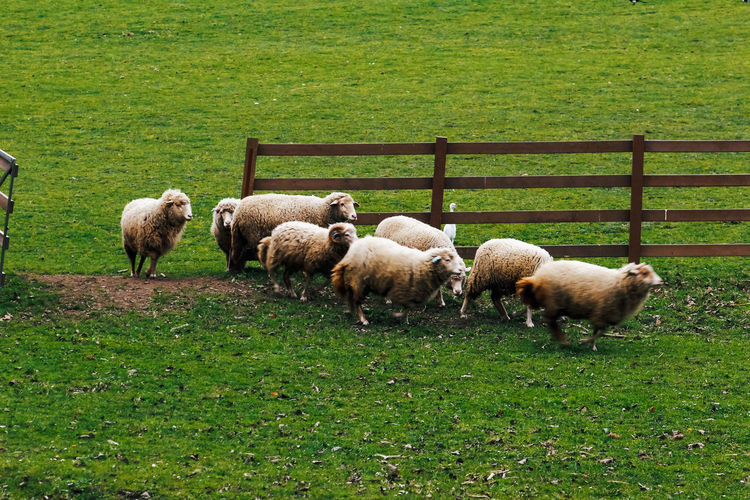 Group Of Animals Mammal Animal Grass Animal Themes Domestic Animals Green Color Field Land Livestock Vertebrate Domestic Pets Sheep Plant Nature Grazing Plain No People Day Outdoors Herbivorous Sheeps