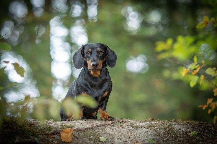 Portrait of dachshund on fallen tree