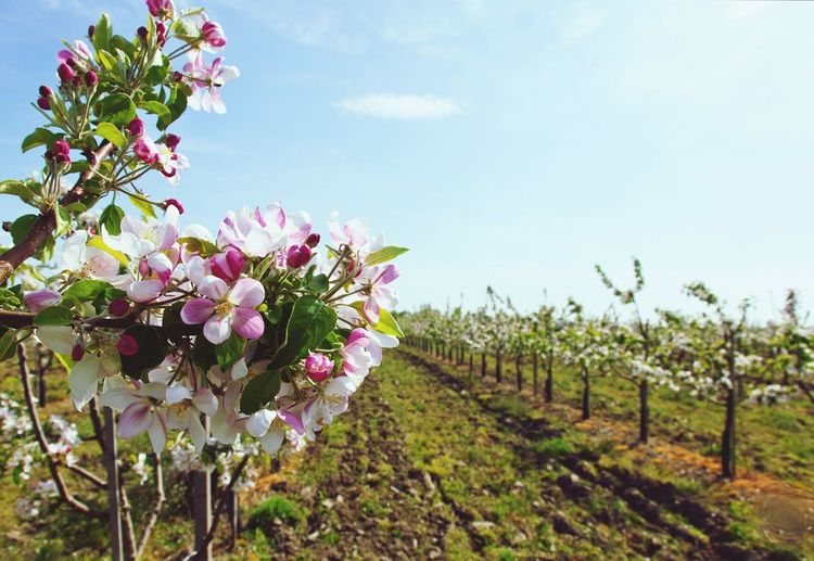 Blossom Field Nature Sunny Spring Trees Pear Blossoms Flowers Growth Farm Landscape