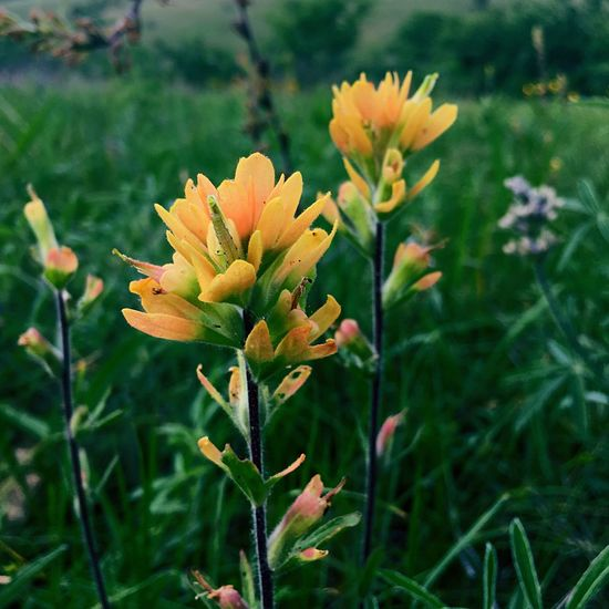 Flower Nature Growth Beauty In Nature Plant Petal Fragility Freshness Blooming Flower Head No People Day Outdoors Close-up Grass Natural Area Blooms Native Flowers Glade Missouri Native Indian Paintbrush Flowers Caterpillar