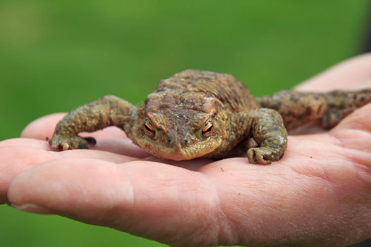 Close-up of hand holding toad