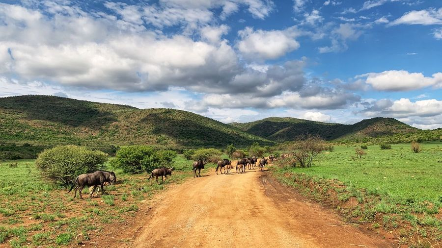 Wildebeest Cloud - Sky Sky Plant Tree Land Nature Group Of Animals Landscape Animal Themes Animal Mammal Beauty In Nature