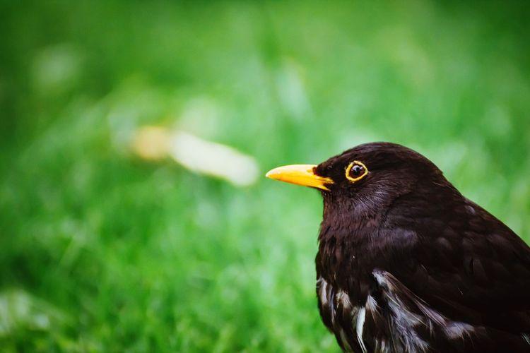 Close-Up Of Blackbird Perching On Grassy Field