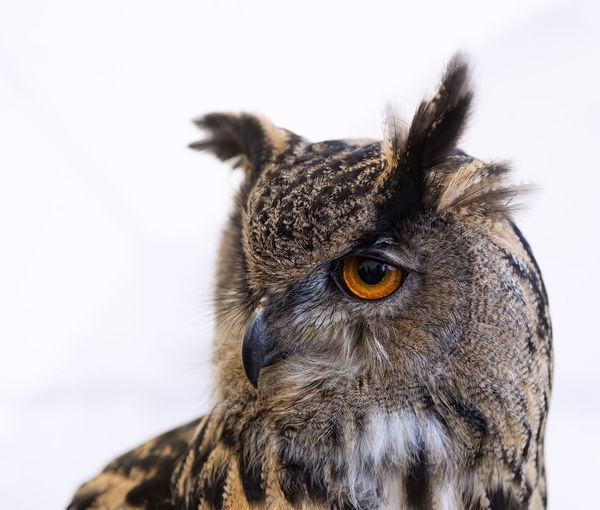 Animal Themes Bird Close-up Focus On Foreground Nature No People Outdoors Owl Short Eared Owl White Background