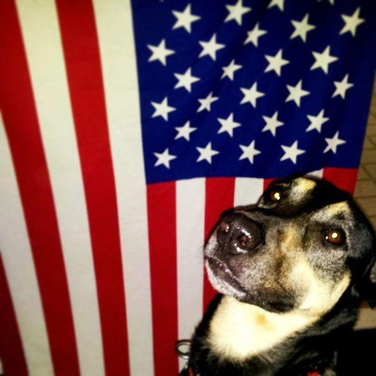 Happy Flag Day! Love, Dave Germanshepherdlovers Gsdpage Germanshepherd Dogswithhumannames Dogsrule Dogsofinstagram
