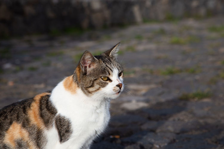 portrait of a cat outside on the street One Animal Pets Mammal Cat Feline Domestic Domestic Animals Domestic Cat Focus On Foreground No People Looking Close-up Portrait
