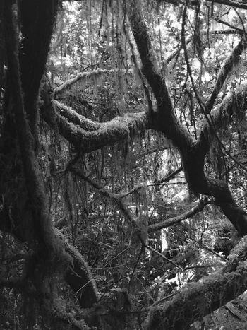 Shades Of Grey Redwoods California Redwoods Spooky Atmosphere Spooky