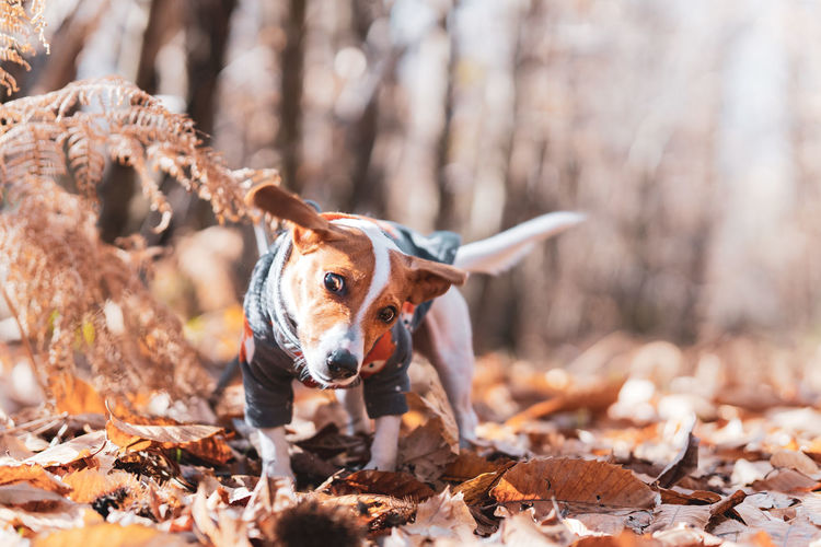 Close-up of tsunami the jack russell terrier dog shaking herself in an autumnal forest setting