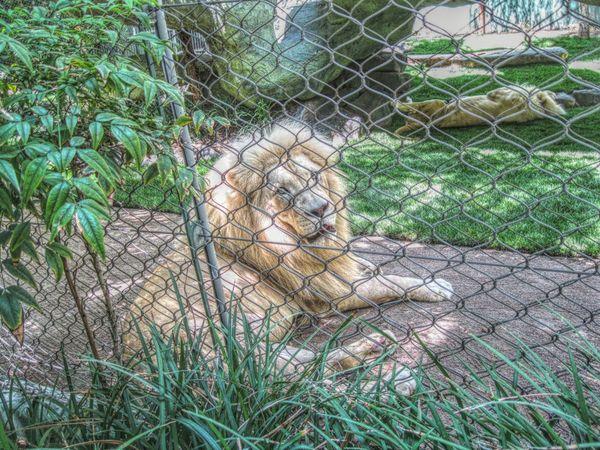 Lion Vegas  Mirage Hotel