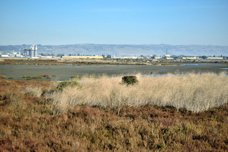 Cogswell Marsh 5 Hayward Regional Shoreline Park Tidal Wetlands Marsh Wildlife Refuge Native Grasses Restored Marshlands Historically Used For Salt Production Salt Evaporation Ponds Channels Mudflats Pickleweed Area Will Be Under 2-3ft Water Next Month Bird Habitant 93 Species Of Birds First Days Of Winter Eastbay Hills Industrial Plant Built Structures Nature Nature Collection Beauty In Nature Scenic Landscape Wetland Landscape_Collection Landscape Photography Southern San Francisco Bay East Bay Regional Park District Marram Grass