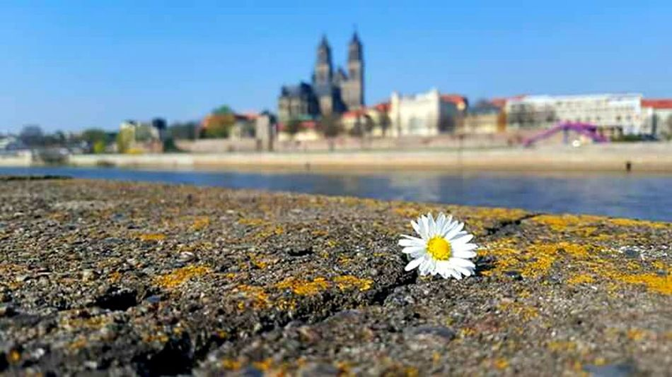 Magdeburg Magdeburger Dom Elbe Bokeh Photography Magdeburg Discover Your City Urban Exploration City Blue Sky Blue Blue Wave White Flower Showcase April Spring 2016 The Places I've Been Today How's The Weather Today? Spring Has Arrived Spring! April2016
