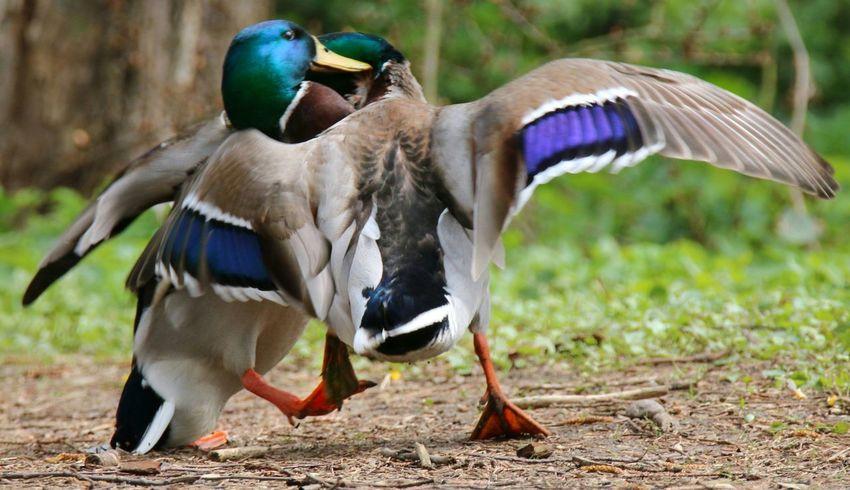 Enten Ducks Kampf Struggle Wildlife & Nature Animals In The Wild Wildlife Photography Beauty In Nature Bird Watching EyeEm Best Shots - Nature Birdwatching My Favorite Photo Nature