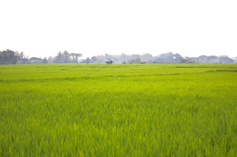 beautiful rice field Field Nature Rural Agriculture Beauty In Nature Clear Sky Day Environment Field Grass Green Color Growth Land Landscape Nature No People Outdoors Plant Rice Field Rural Scene Scenics - Nature Sky Tranquil Scene Tranquility Tree First Eyeem Photo