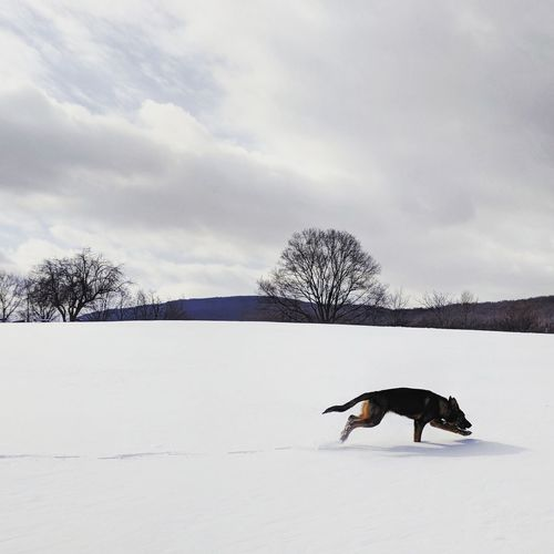 fresh tracks My Pet Puppy German Shepherd Sable Winter Running Snow Winter Cold Temperature One Animal Nature Snowing Animal Outdoors Frozen Animal Themes No People Day Shades Of Winter