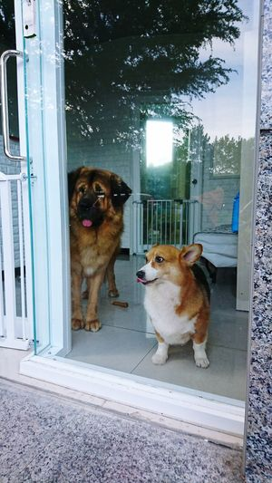 Dog Pets Door Domestic Animals Animal One Animal Purebred Dog Golden Retriever Animal Themes Sitting Portrait No People Mammal Retriever Outdoors Day
