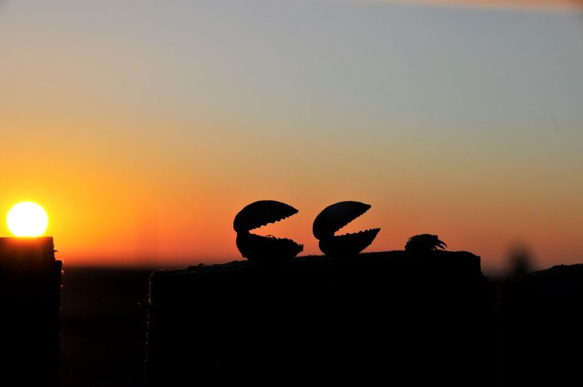 Sand Beach Crab Animal Themes Beauty In Nature Nature Pacman Shells Silhouette Sky Sunset
