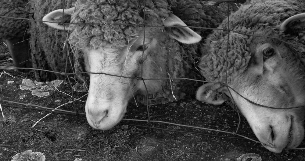 Hello World Sheep Mammal Animal Themes Animal Domestic Domestic Animals Pets Livestock Animal Wildlife Land Field Animal Body Part Outdoors No People Day Nature Animal Head