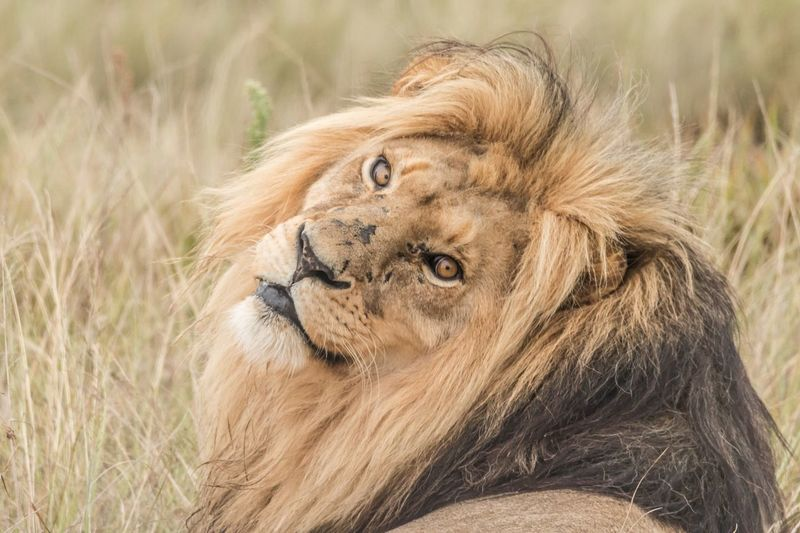 Looking back Lion Safari Animals Safari Africa African Wildlife Beauty In Nature South Africa One Animal Mammal Portrait Animal Wildlife No People Looking At Camera Animals In The Wild Lion - Feline Animal Eye