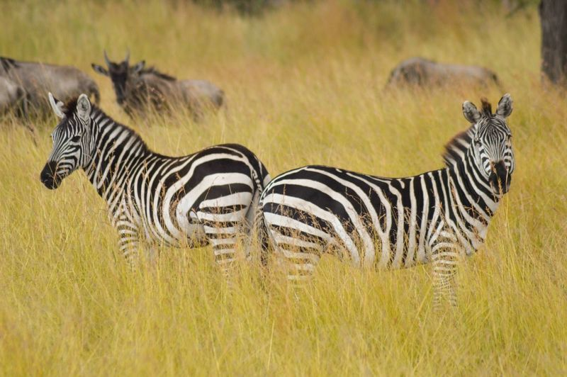 Close-Up Of Zebras Standing In Forest