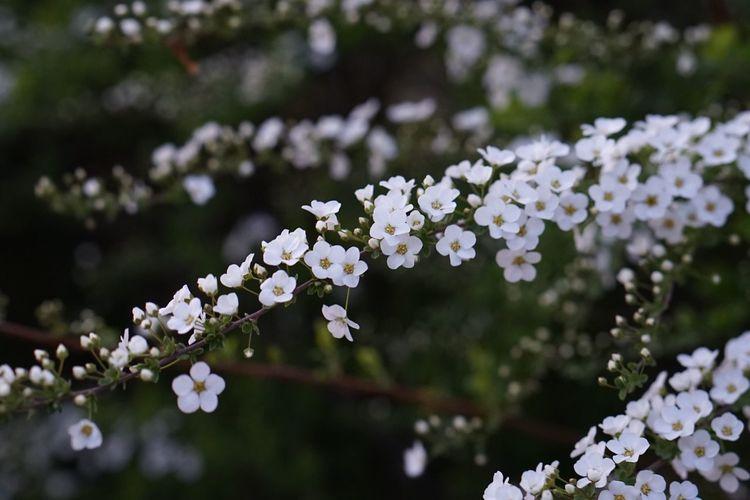 Thunberg Spirea Spring Flowers Flowers Spring EyeEm Flower
