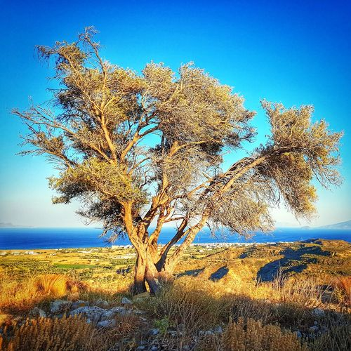 mediterranean bush Bush Bushes Bushes And Trees Mediterranean  Mediterranean Landscape Mediterranean Nature Nature Outdoors Flora Vegetation Blue Sky Aegean Islands Aegean Sea Greece GREECE ♥♥ Hellas Blue Sky Grass Countryside Single Tree Landscape Arid