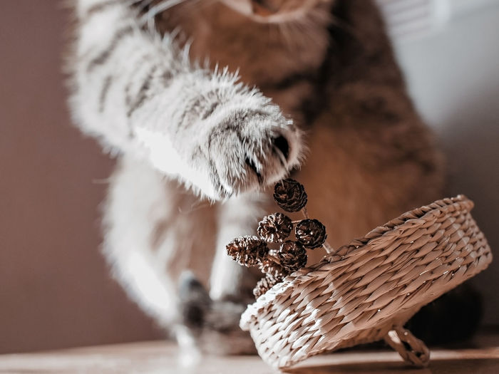 Mackerel tabby cat in defocus playing paw with alder cones close-up in straw basket. neutral palette